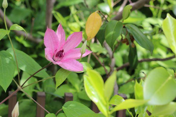 ピンクの春の花の写真