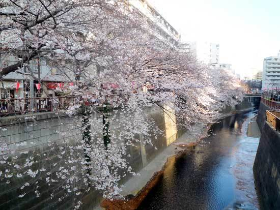 目黒川の桜の画像